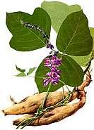 Pueraria thunbergiana