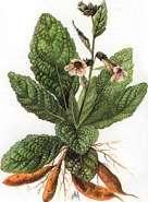 Rehmannia chinensis