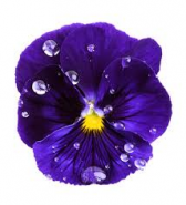Floare de violeta
