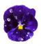 Floare de violeta