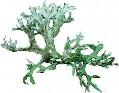 Lichen islandic