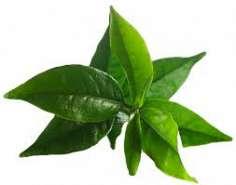 Arbore de ceai