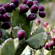 Cactus - Opuntia Dillenii Haw