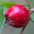 Damnacanthus