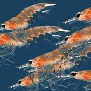Fosfolipide marine