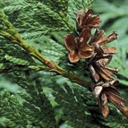 Tamarix articulata - Cedru
