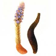 Cistanche Deserticola